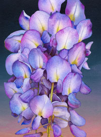 153 - Wisteria at Dawn