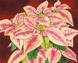 202 - Pink Poinsettias in Red Pot