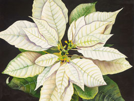 205 - White Poinsettia