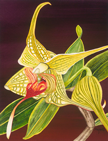 208 - Striped Orchid